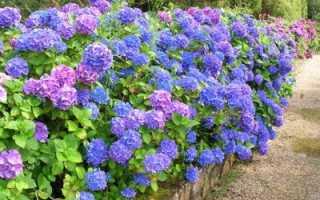 Цветы гортензии: виды и сорта для российских садов, розовая, белая, голубая, синяя