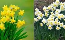 Нарцисс: какие цветки, как выглядит стебель, когда цветет, описсание