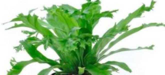 Асплениум сколопендровый – отличие от других видов папоротника, выращивание дома, видео
