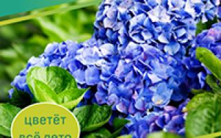 Черемуха в саду – посадка весной и осенью, вредители, видео