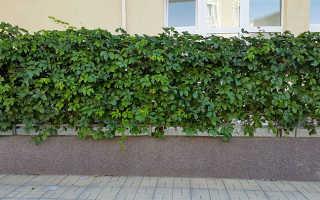 Растения для забора: многолетние и однолетние, зимостойкие, быстрорастущие