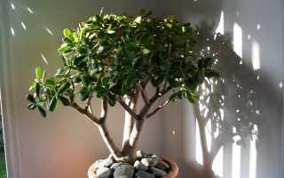 Денежное дерево: виды толстянки, как цветёт, как выглядит крассула