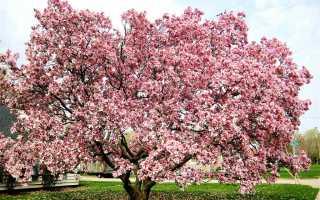 Магнолия: цветок, уход и выращивание, как выглядит, описание