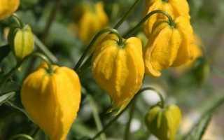 Клематис тангутский радар любви: выращивание из семян, популярные сорта