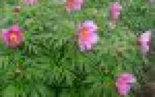 Пион уклоняющийся или марьин корень: посадка и уход, выращивание из семян