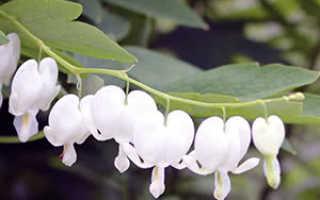 Дицентра великолепная: посадка и уход, выращивание из семян цветка в форме сердца