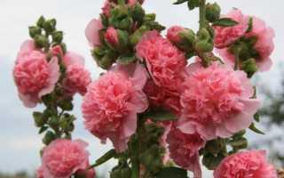 Шток роза или мальва: посадка и уход в открытом грунте, выращивание из семян