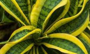 Болезни и вредители сансевиерии – вялые листья, почему распадаются и скручиваются, как помочь, видео