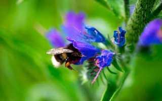 Синяк: описание, фото цветка, посадка, выращивание из семян, уход