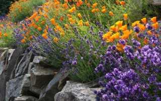 Эшшольция или калифорнийский мак: выращивание из семян, когда сажать