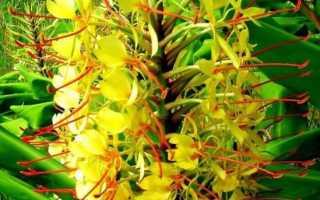 Гедихиум – Hedychium: фото, условия выращивания, уход и размножение