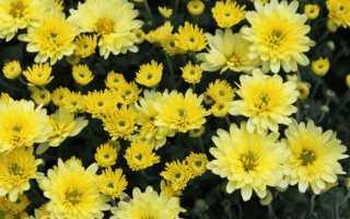 Однолетняя хризантема: описание и фото