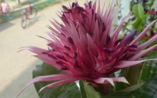 Эхмея: уход в домашних условиях, как отсадить, почему не цветет