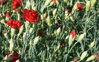 Садовая гвоздика шабо: выращивание из семян, полив, сорта
