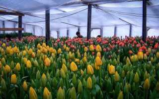 Посадка и выращивание тюльпанов в теплице к 8 марта для начинающих: как правильно