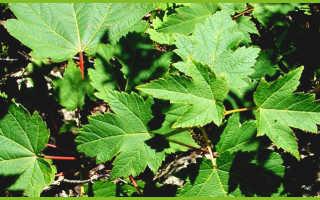 Кленовый сироп примечателен тем, что редко вызывает аллергию