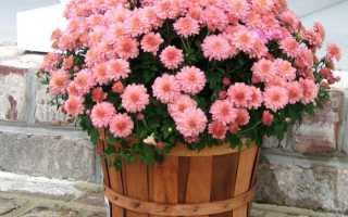 Можно ли комнатные хризантемы пересадить в открытый грунт?