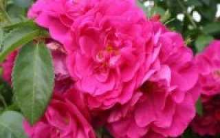 Канадские розы: парковые, лучшие сорта, посадка и уход