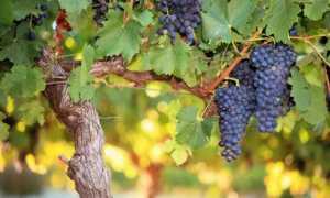 Выведение высокоштамбовых формировок винограда