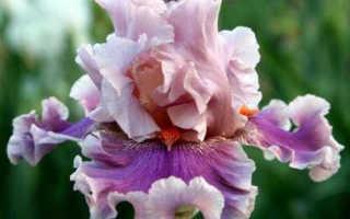 7 видов ириса: посадка и уход, как выглядят, когда цветут, как выращивать, описание
