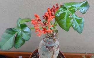 Ятрофа – Jatropha: фото, условия выращивания, уход и размножение