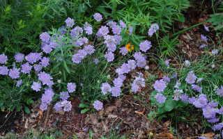 Скабиоза: выращивание из семян, виды кавказская, японская, темно-пурпурная