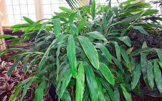 Как вырастить кардамон в домашних условиях из семян?