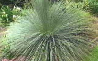 Ксанторрея – Xanthorrhoea: фото, условия выращивания, уход и размножение
