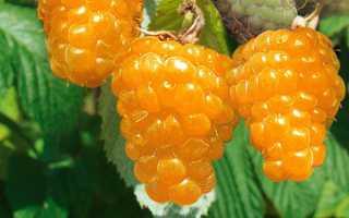 Малина золотая осень: описание, сорта, фото, отзывы