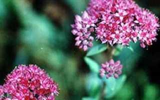 Очиток пурпурный: лекарственные свойства, лечебные свойства, противопоказания