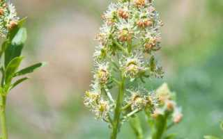 Резеда душистая: выращивание из семян, описание, полезные свойства и противопоказания