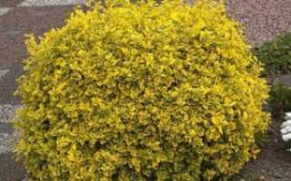 Бересклет форчуна: посадка и уход, популярные сорта, выращивание