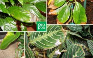 Почему сохнут кончики листьев у комнатных растений и что делать