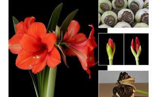 Гиппеаструм: почему не цветет в домашних условиях и что делать