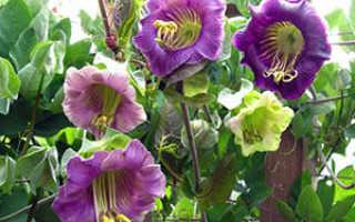 Цветок кобея: посадка и уход в открытом грунте, выращивание из семян