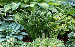 Хоста: ландшафтные хитрости в саду, как красиво посадить на садовой поляне