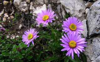 Альпийская многолетняя астра: посадка и уход, выращивание из семян