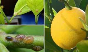 Почему у лимона липкие листья и что делать?