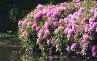 Вечнозеленые кустарники, описание, особенности ухода