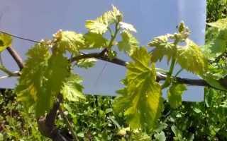Убираем с винограда лишние листья и побеги