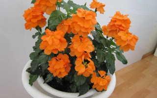Кроссандра: уход и выращивание в домашних условиях, размножение