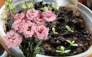 Эустома: выращивание, посадка и уход за цветком в домашних условиях