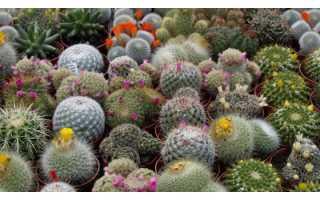 Виды кактусов с названиями