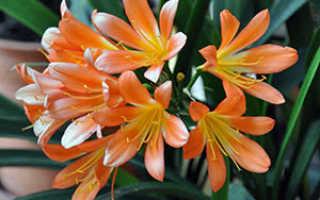 Кливия: уход в домашних условиях, почему не цветет, размножение