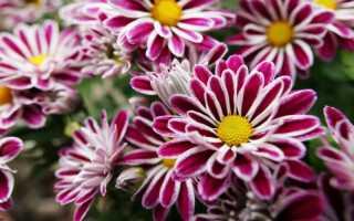 Комнатная хризантема: родина, виды, разновидности и сорта, описание
