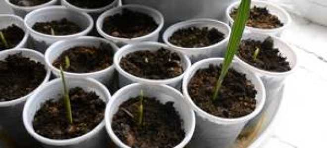 Финик пальчатый, или Финиковая пальма: фото, условия выращивания, уход и размножение