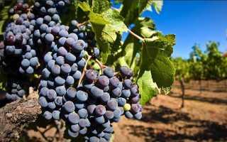 Как я выращиваю свой виноград
