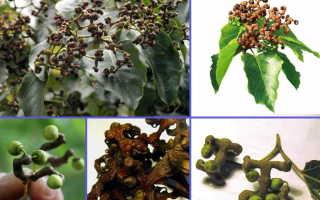 Конфетное дерево, или говения сладкая: описание, плоды конфетного дерева, фото