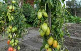 Томат подсинское чудо: описание сорта и особенности выращивания