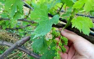 Когда осветлять грозди винограда